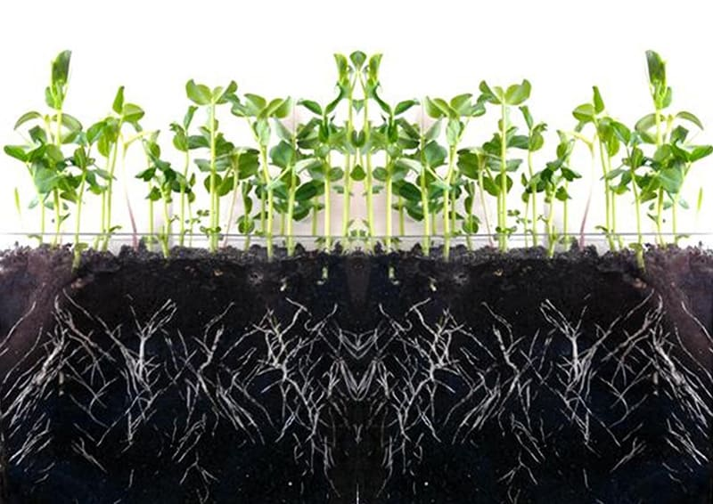 root-growth