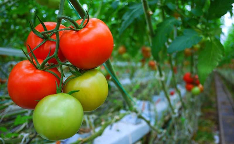 grow tomato