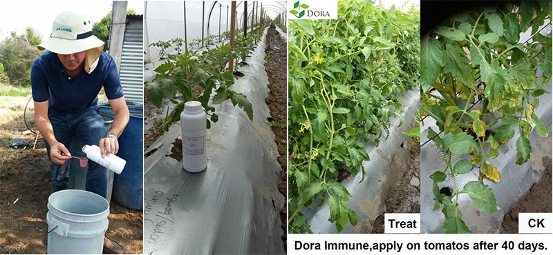 Harpin protein used on tomato in Guatemala