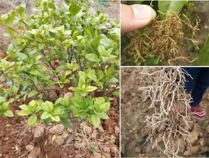 control nematodes on citrus