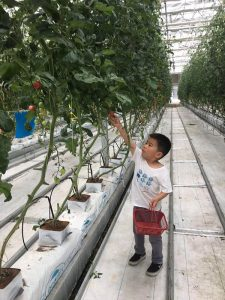 dora tomato picking activity