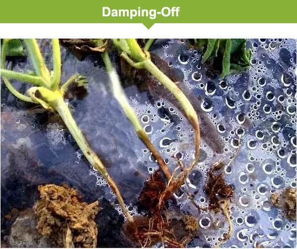 Damping-off