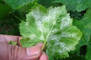 Grape powdery mildew
