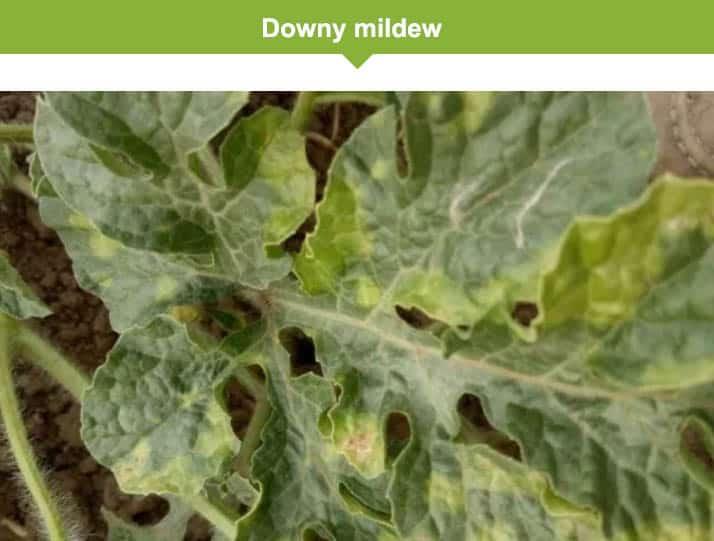 downy mildew on watermelon