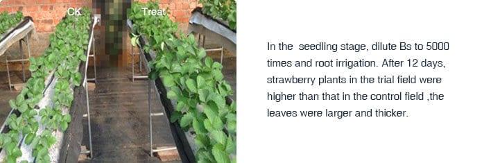 Bacilis subtilis strawberry