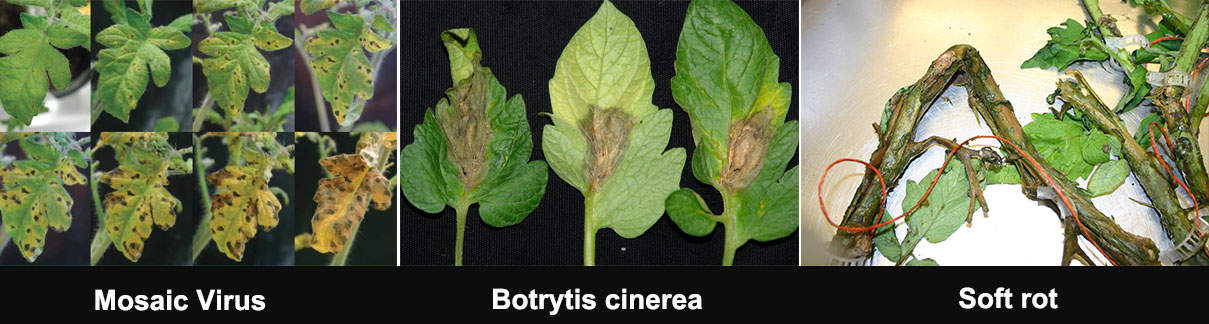 Dora Chitosan improve crop resist diseases | Dora Agri-tech