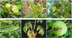 Boron deficiency