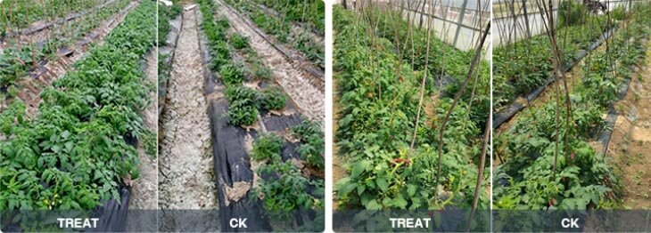 Alleviate soil salinization on tomato farm.