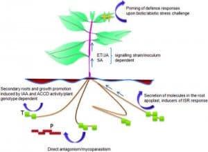 mechanism of action trichoderma