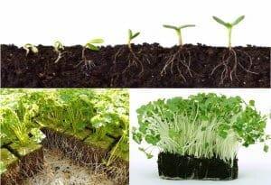 trichoderma roots development