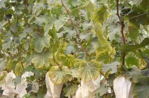 grape magnesium deficiency