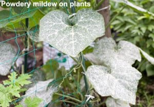 powdery mildew on plants