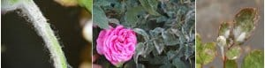 powdery mildew on rose
