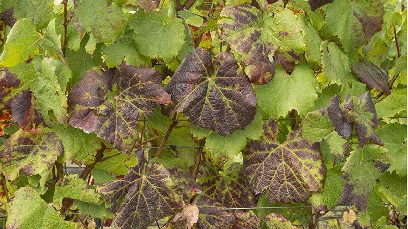 Grape leafroll