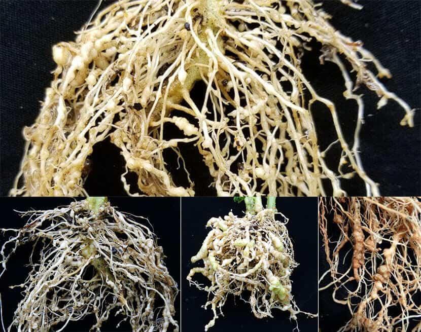 tomato Root knot nematodes