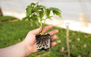 Mycorrhizae-fungi