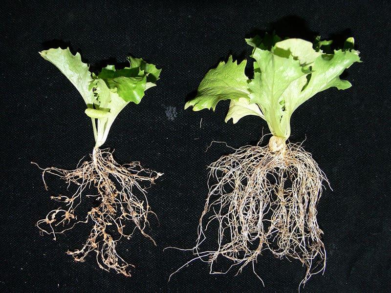 root-knot-nematodes