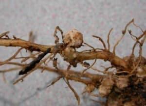 symptoms of root-knot nematode