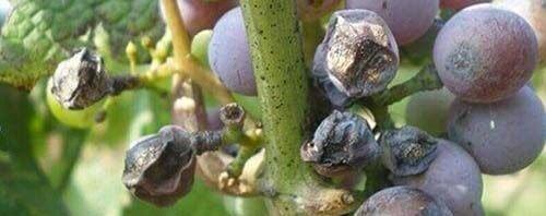 grape anthracnose